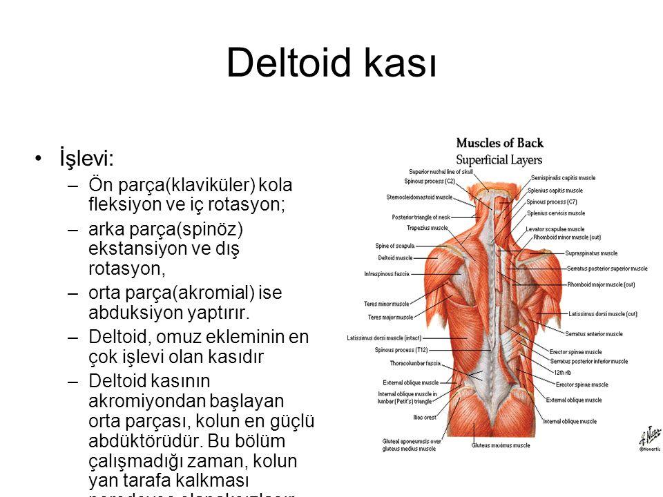 Deltoid kası İşlevi: Ön parça(klaviküler) kola fleksiyon ve iç rotasyon; arka parça(spinöz) ekstansiyon ve dış rotasyon,