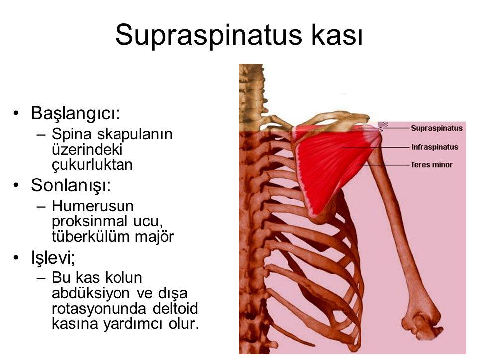 Supraspinatus kası Başlangıcı: Sonlanışı: Işlevi;