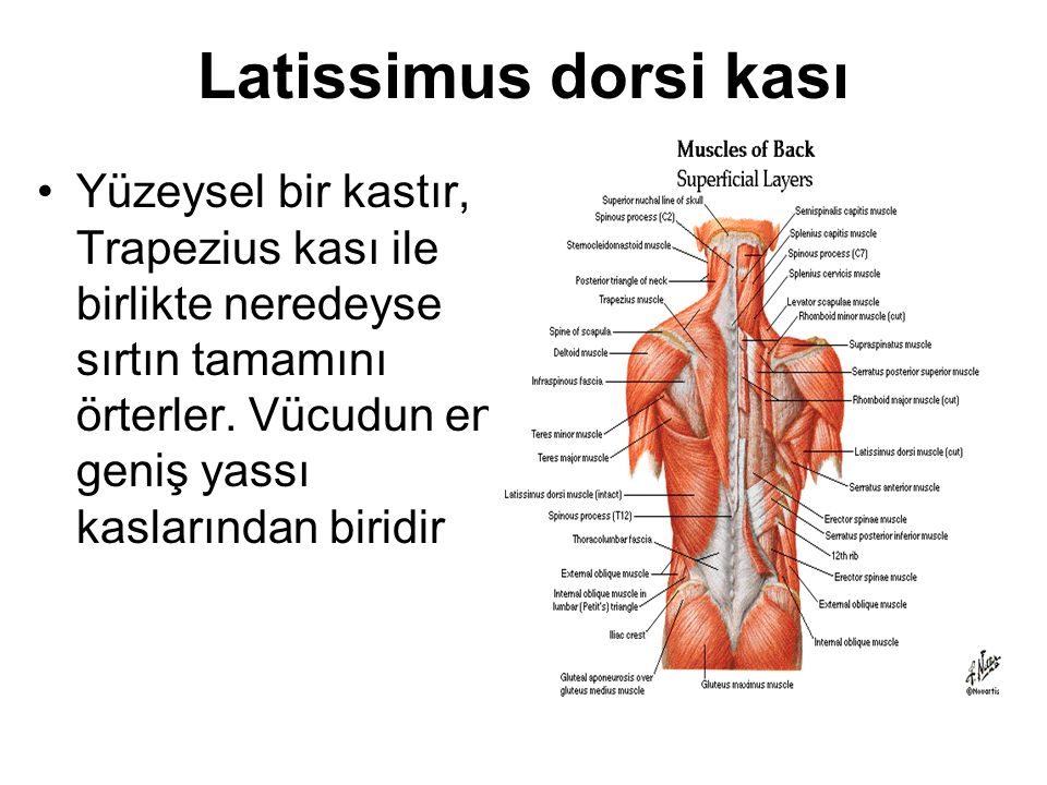 Latissimus dorsi kası Yüzeysel bir kastır, Trapezius kası ile birlikte neredeyse sırtın tamamını örterler.