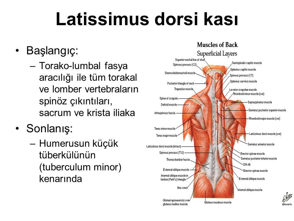 Latissimus dorsi kası Başlangıç: Sonlanış:
