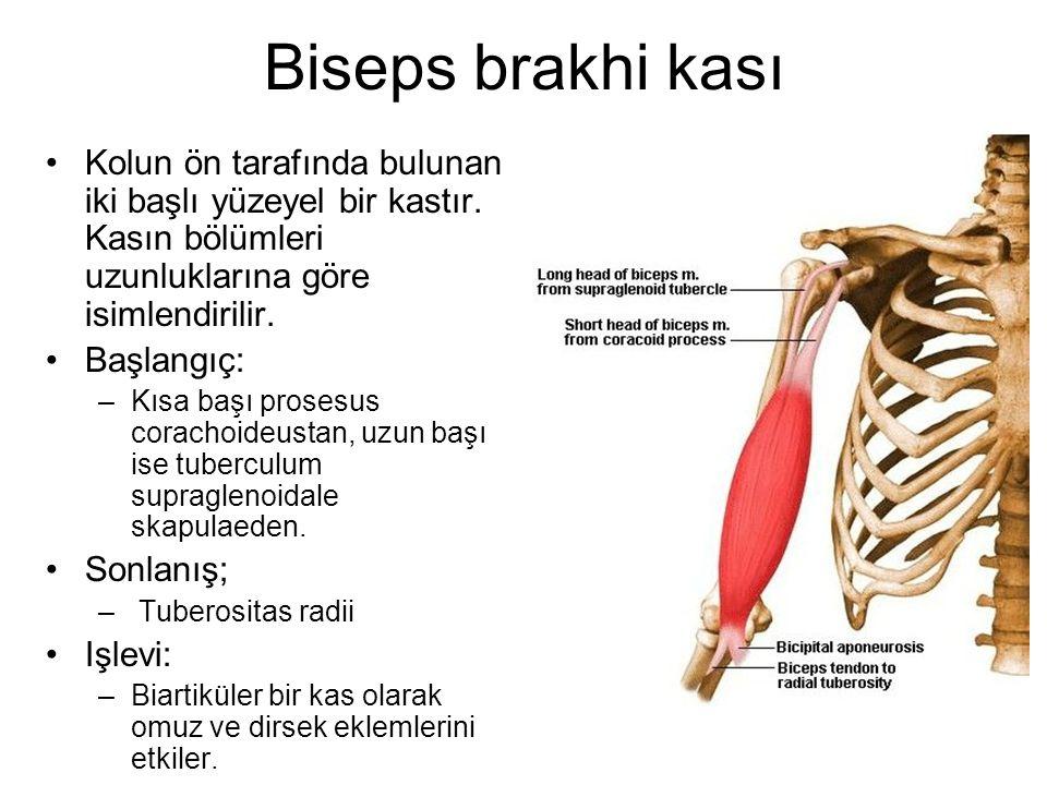 Biseps brakhi kası Kolun ön tarafında bulunan iki başlı yüzeyel bir kastır. Kasın bölümleri uzunluklarına göre isimlendirilir.