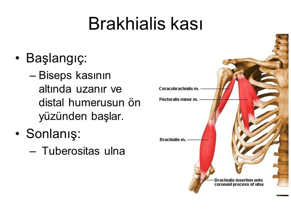 Brakhialis kası Başlangıç: Sonlanış: