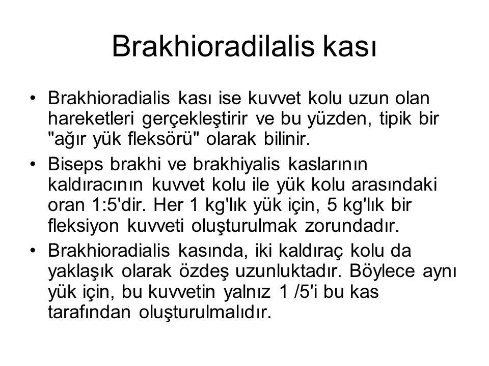 Brakhioradilalis kası