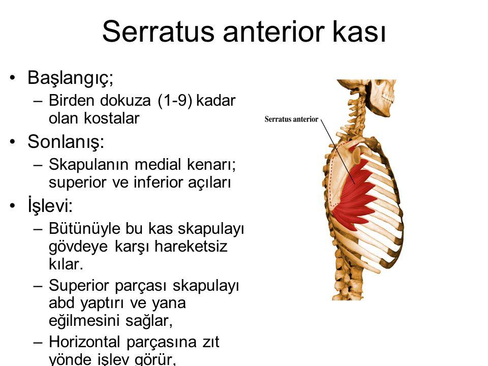 Serratus anterior kası