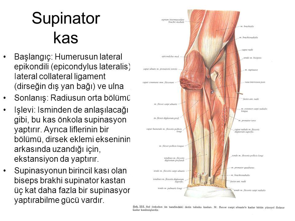 Supinator kas Başlangıç: Humerusun lateral epikondili (epicondylus lateralis), Iateral collateral ligament (dirseğin dış yan bağı) ve ulna.