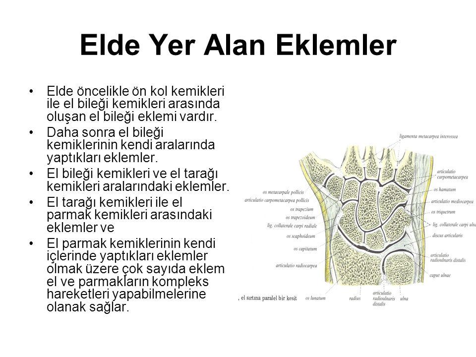 Elde Yer Alan Eklemler Elde öncelikle ön kol kemikleri ile el bileği kemikleri arasında oluşan el bileği eklemi vardır.