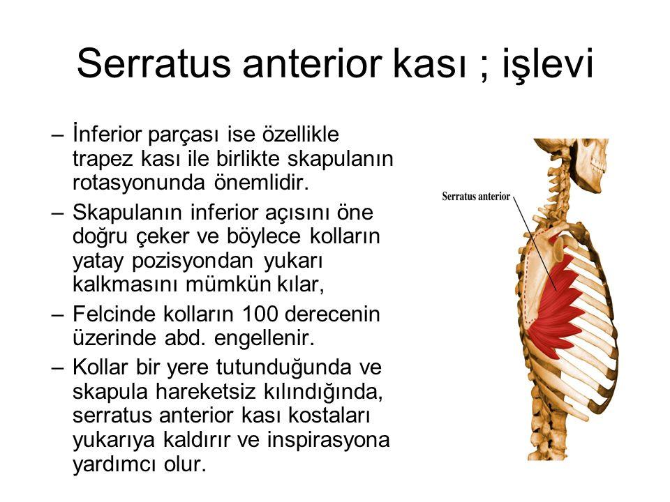 Serratus anterior kası ; işlevi