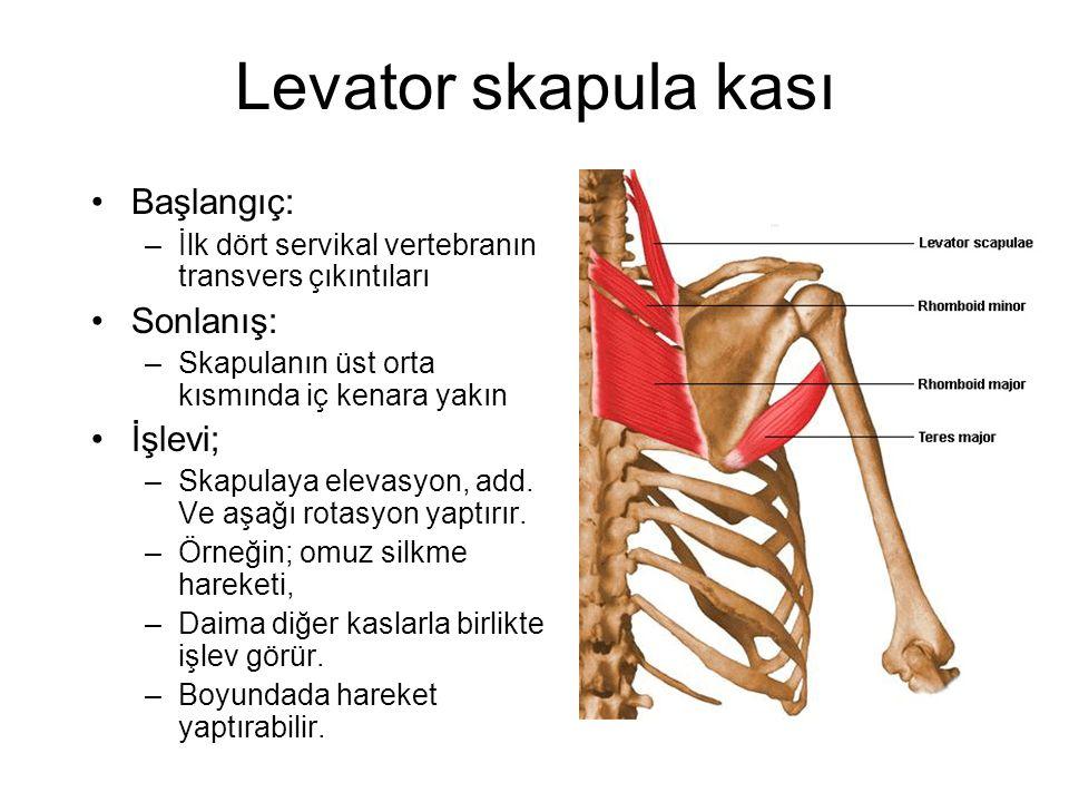 Levator skapula kası Başlangıç: Sonlanış: İşlevi;