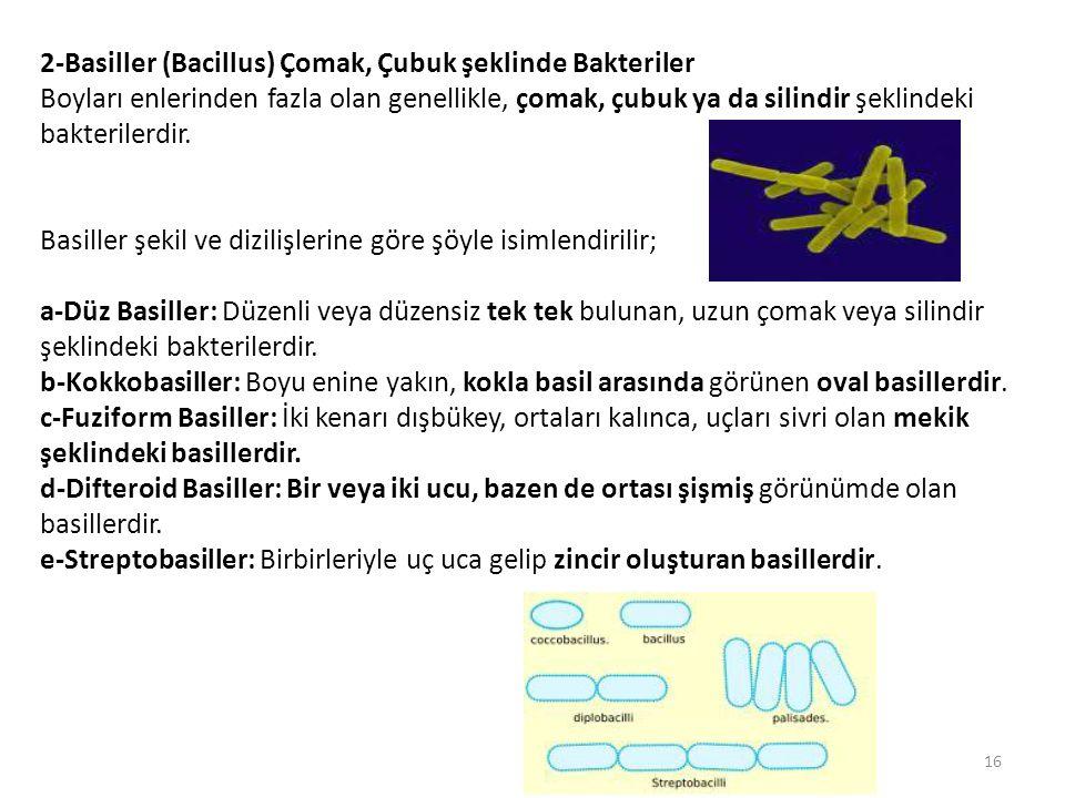 2-Basiller (Bacillus) Çomak, Çubuk şeklinde Bakteriler