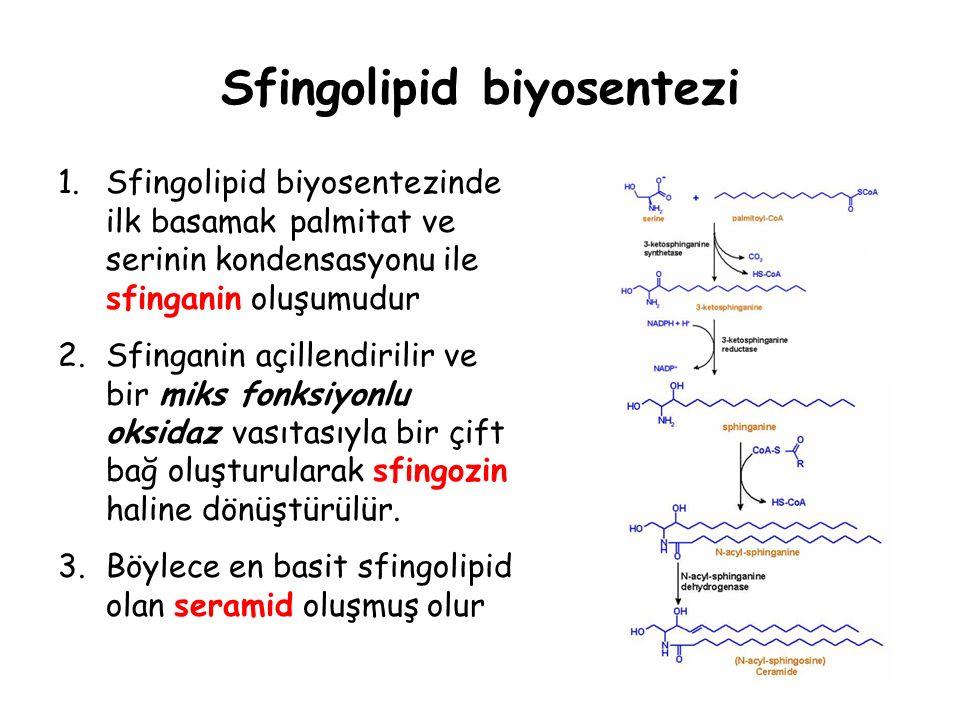 Sfingolipid biyosentezi