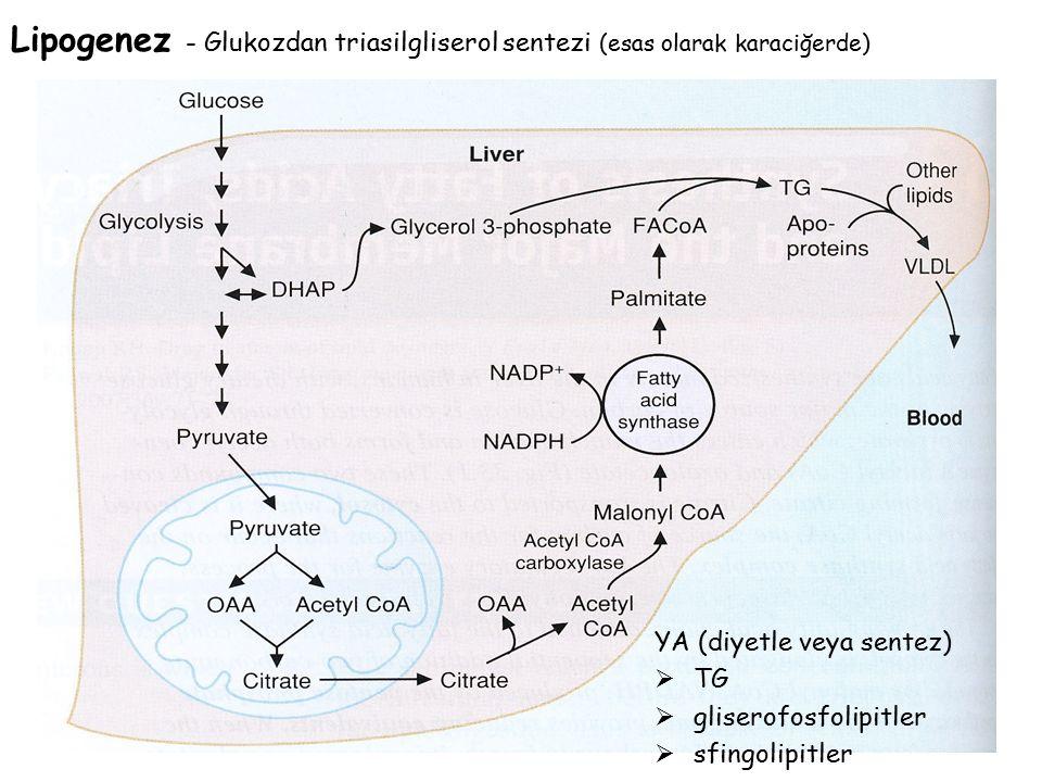 Lipogenez - Glukozdan triasilgliserol sentezi (esas olarak karaciğerde)