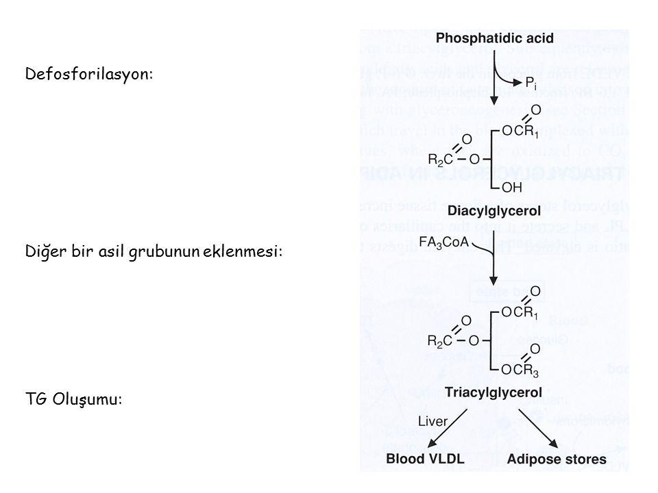 Defosforilasyon: Diğer bir asil grubunun eklenmesi: TG Oluşumu: