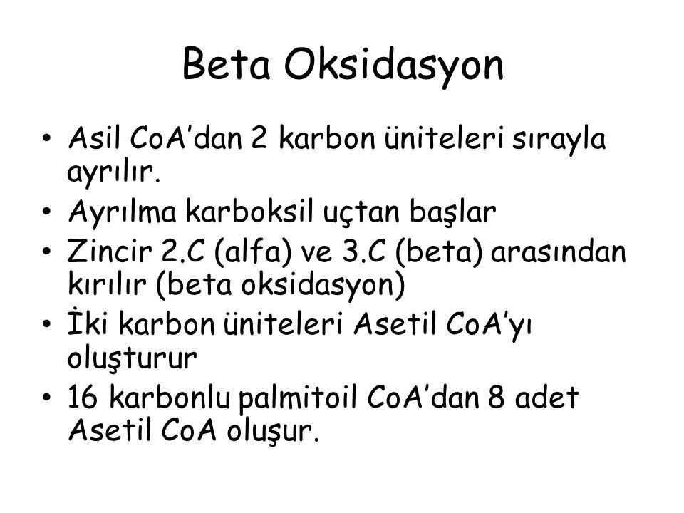 Beta Oksidasyon Asil CoA'dan 2 karbon üniteleri sırayla ayrılır.
