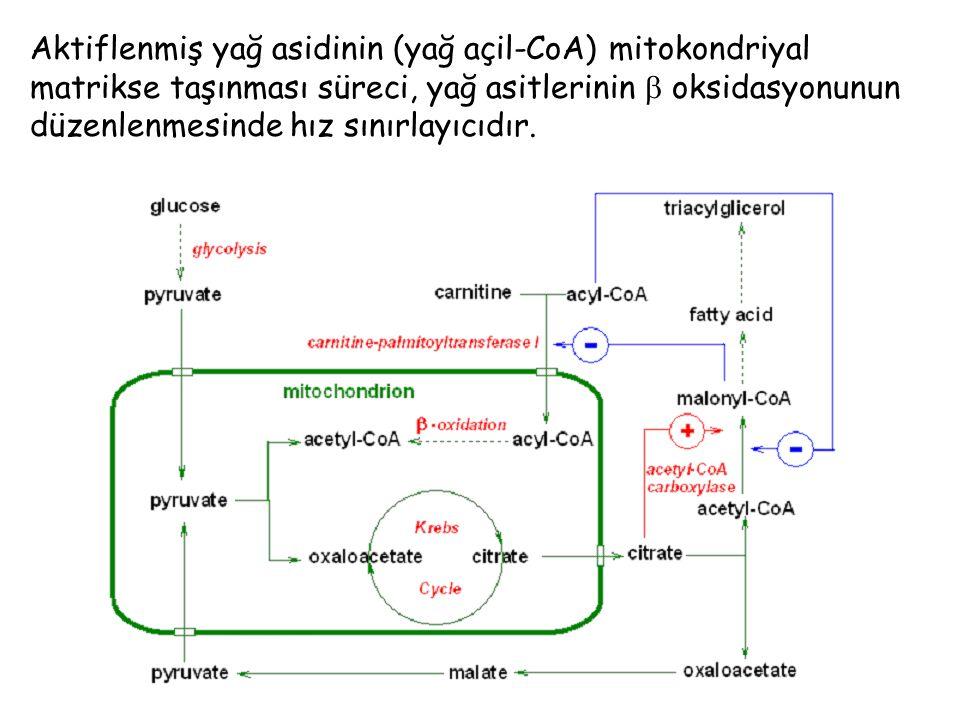 Aktiflenmiş yağ asidinin (yağ açil-CoA) mitokondriyal matrikse taşınması süreci, yağ asitlerinin  oksidasyonunun düzenlenmesinde hız sınırlayıcıdır.