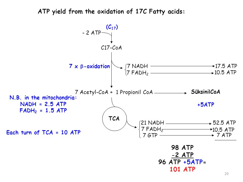 ATP yield from the oxidation of 17C Fatty acids: