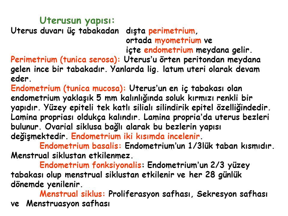 Uterusun yapısı: Uterus duvarı üç tabakadan dışta perimetrium,