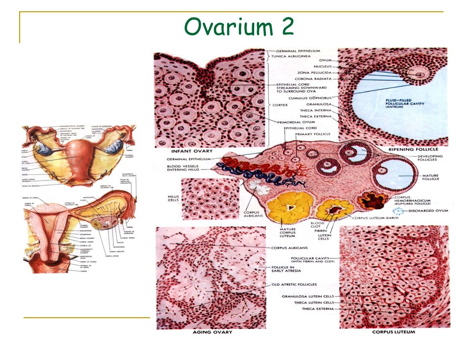 Ovarium 2