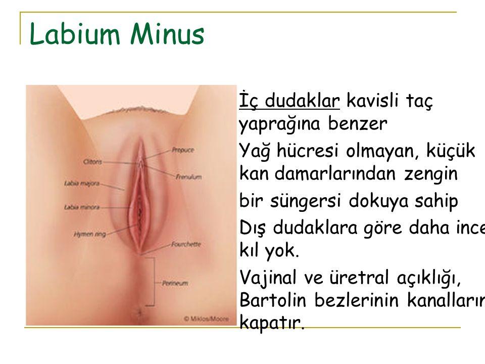 Labium Minus İç dudaklar kavisli taç yaprağına benzer