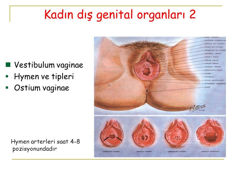 Kadın dış genital organları 2