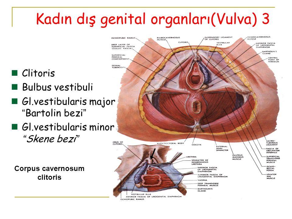 Corpus cavernosum clitoris