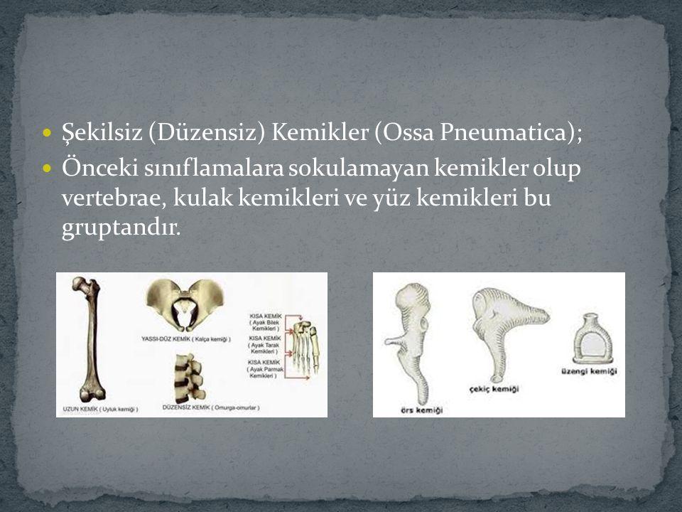 Şekilsiz (Düzensiz) Kemikler (Ossa Pneumatica);