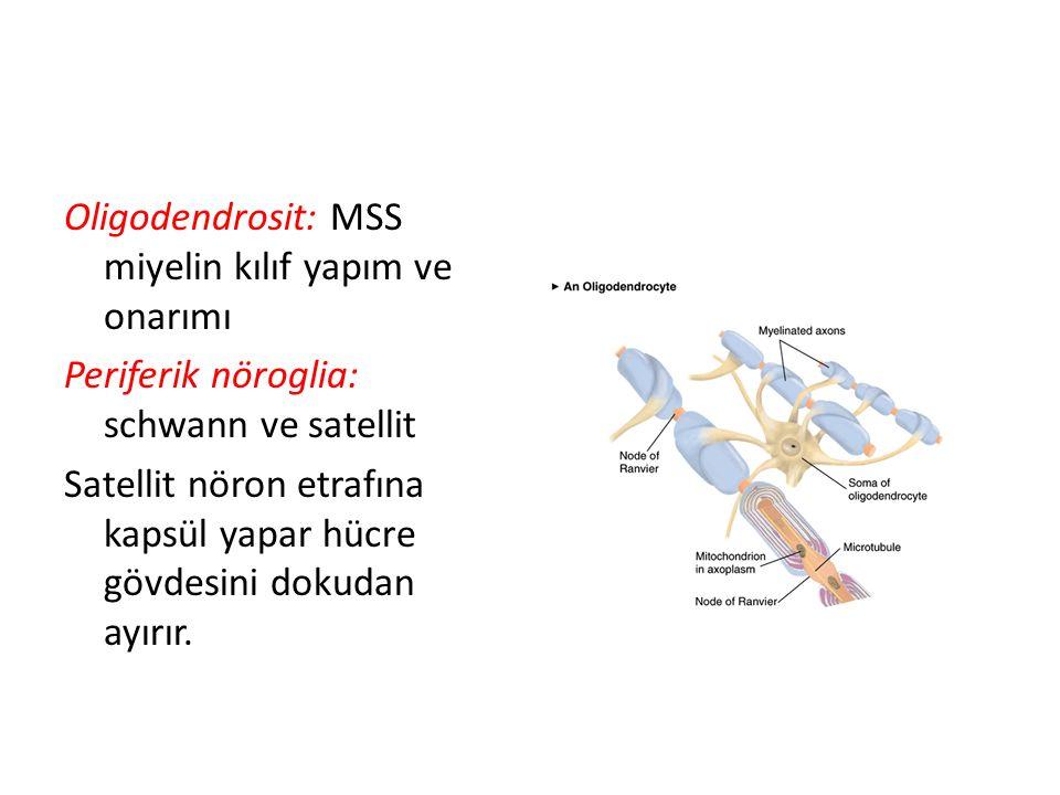 Oligodendrosit: MSS miyelin kılıf yapım ve onarımı Periferik nöroglia: schwann ve satellit Satellit nöron etrafına kapsül yapar hücre gövdesini dokudan ayırır.