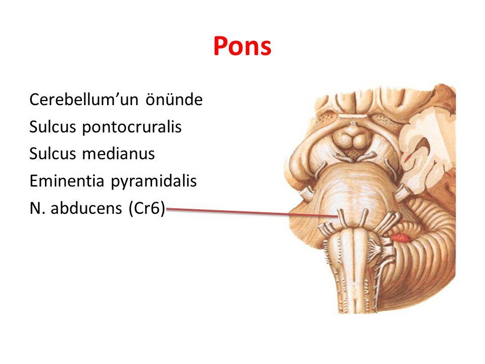 Pons Cerebellum'un önünde Sulcus pontocruralis Sulcus medianus Eminentia pyramidalis N.