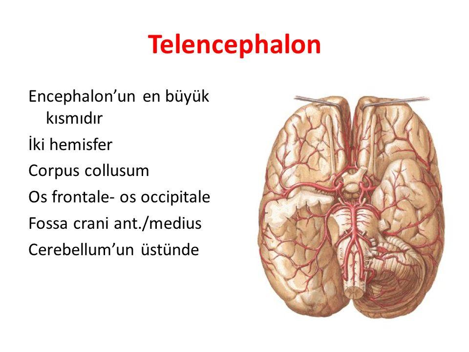 Telencephalon Encephalon'un en büyük kısmıdır İki hemisfer Corpus collusum Os frontale- os occipitale Fossa crani ant./medius Cerebellum'un üstünde