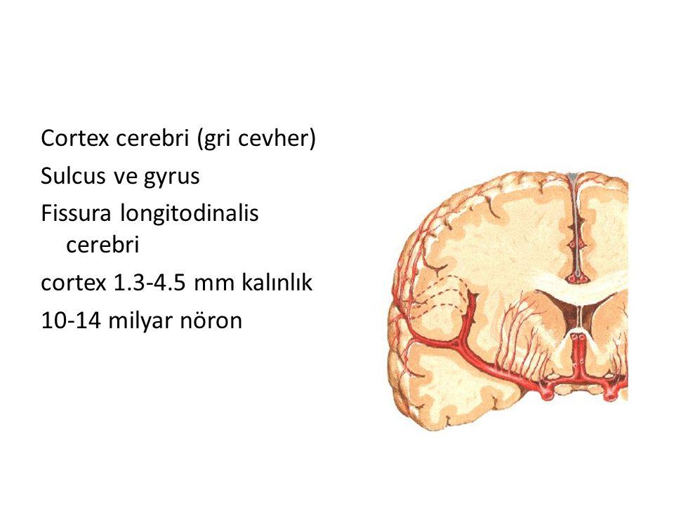 Cortex cerebri (gri cevher) Sulcus ve gyrus Fissura longitodinalis cerebri cortex 1.3-4.5 mm kalınlık 10-14 milyar nöron
