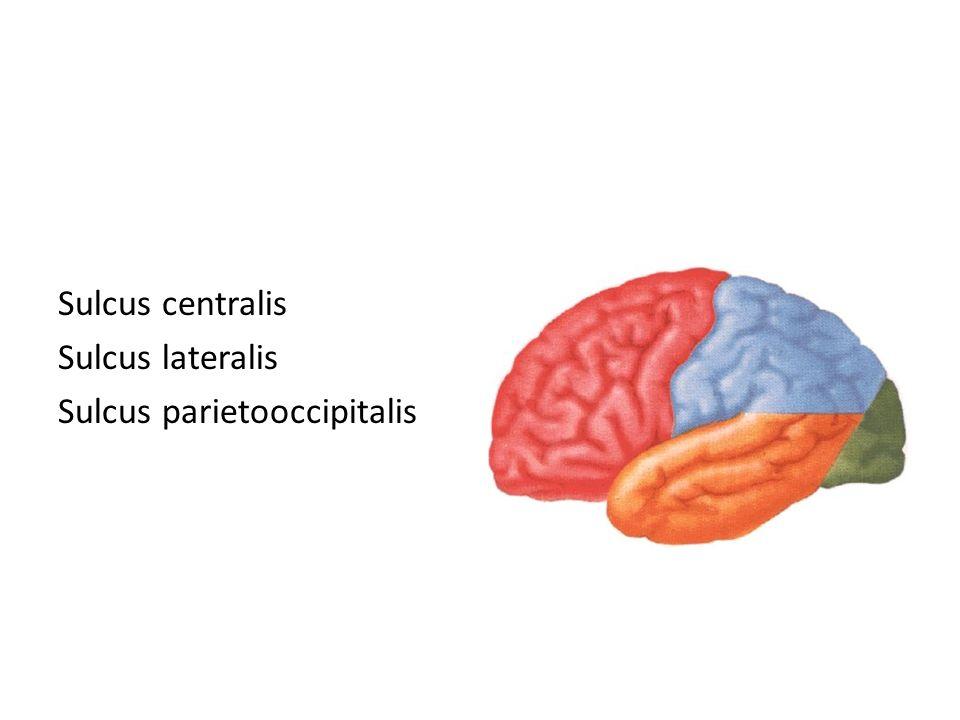 Sulcus centralis Sulcus lateralis Sulcus parietooccipitalis