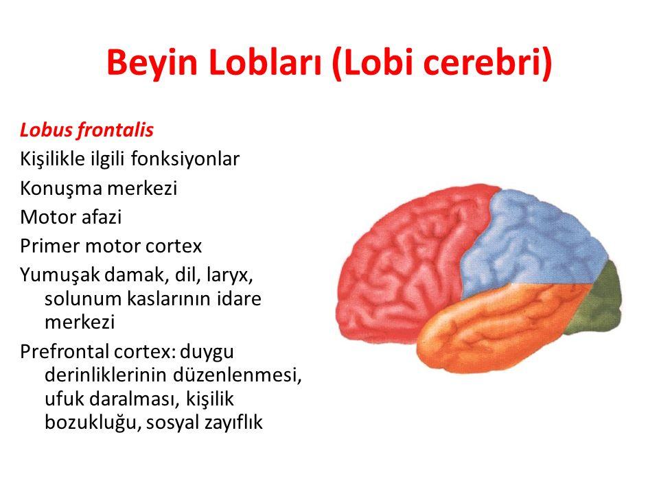 Beyin Lobları (Lobi cerebri)