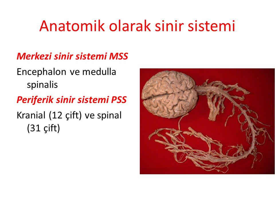 Anatomik olarak sinir sistemi