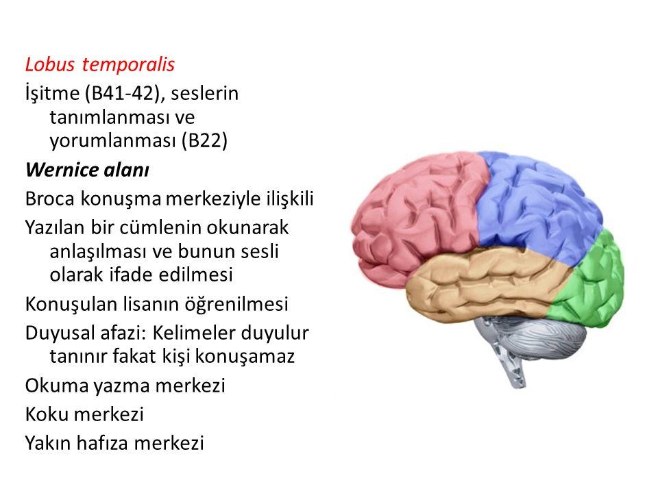 Lobus temporalis İşitme (B41-42), seslerin tanımlanması ve yorumlanması (B22) Wernice alanı Broca konuşma merkeziyle ilişkili Yazılan bir cümlenin okunarak anlaşılması ve bunun sesli olarak ifade edilmesi Konuşulan lisanın öğrenilmesi Duyusal afazi: Kelimeler duyulur tanınır fakat kişi konuşamaz Okuma yazma merkezi Koku merkezi Yakın hafıza merkezi