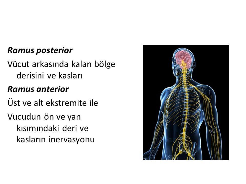 Ramus posterior Vücut arkasında kalan bölge derisini ve kasları Ramus anterior Üst ve alt ekstremite ile Vucudun ön ve yan kısımındaki deri ve kasların inervasyonu