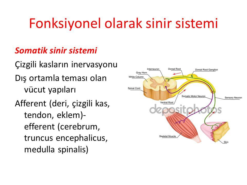 Fonksiyonel olarak sinir sistemi