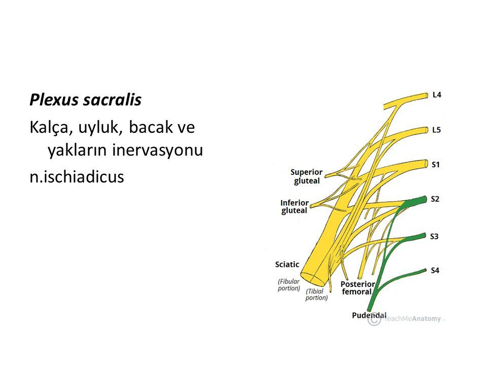Plexus sacralis Kalça, uyluk, bacak ve yakların inervasyonu n