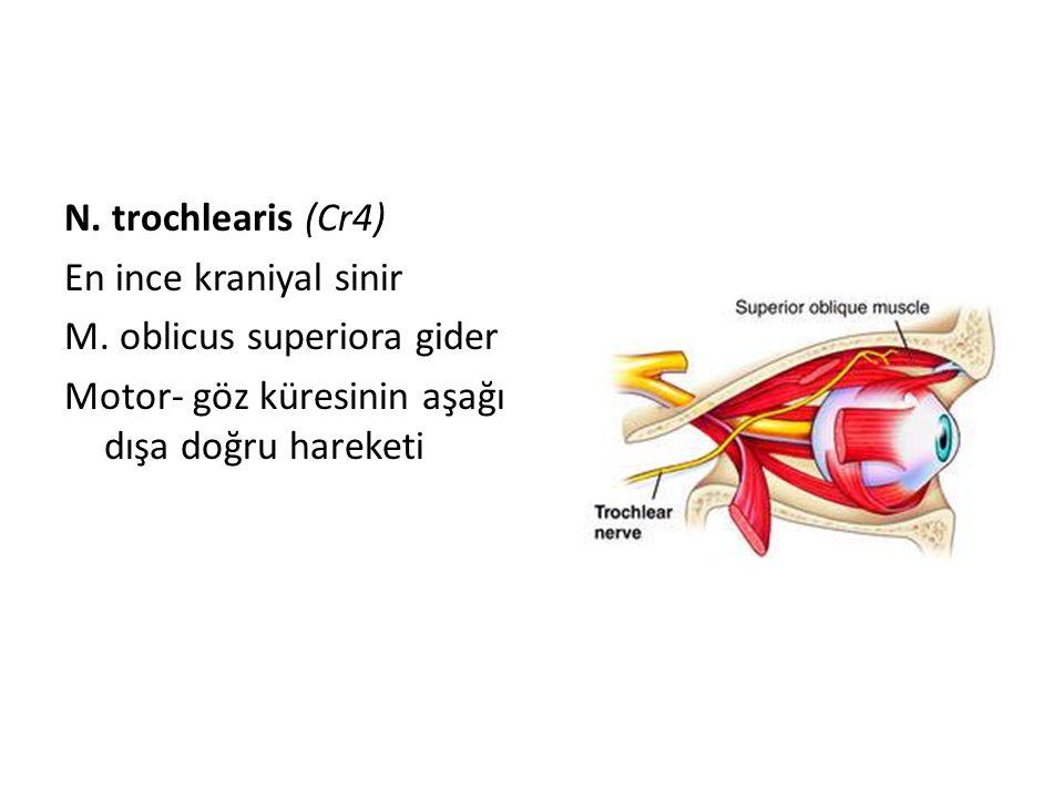 N. trochlearis (Cr4) En ince kraniyal sinir M