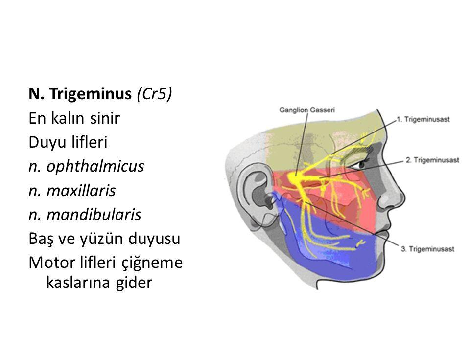 N. Trigeminus (Cr5) En kalın sinir Duyu lifleri n. ophthalmicus n