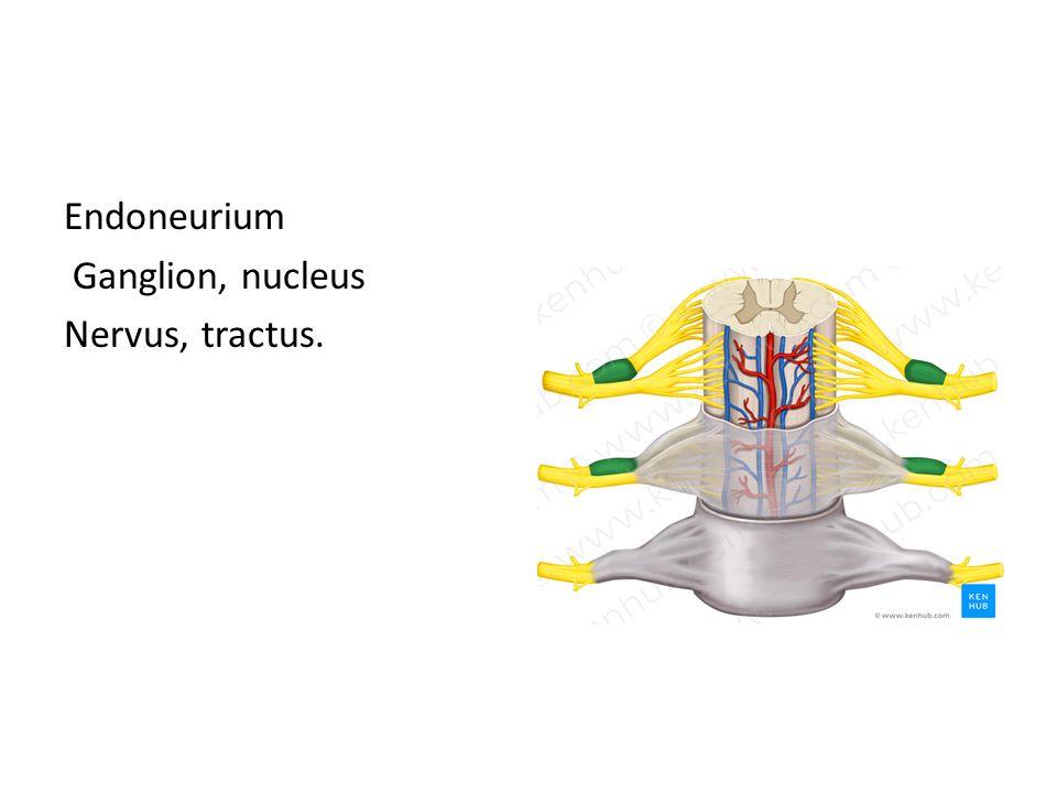 Endoneurium Ganglion, nucleus Nervus, tractus.
