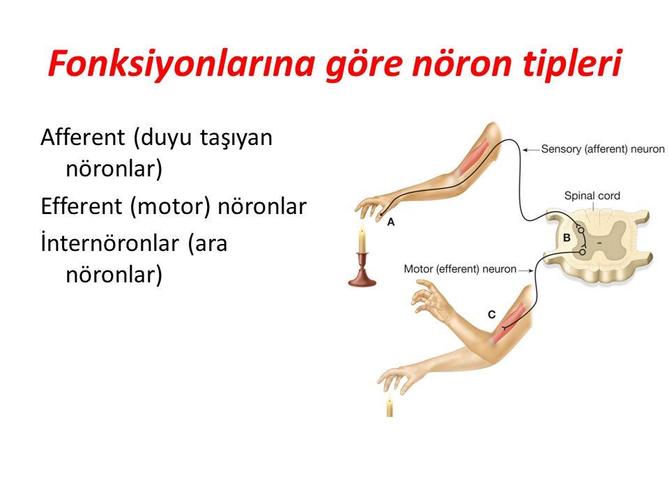 Fonksiyonlarına göre nöron tipleri