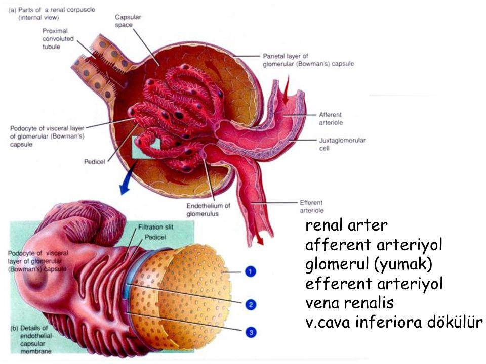 renal arter afferent arteriyol. glomerul (yumak) efferent arteriyol.