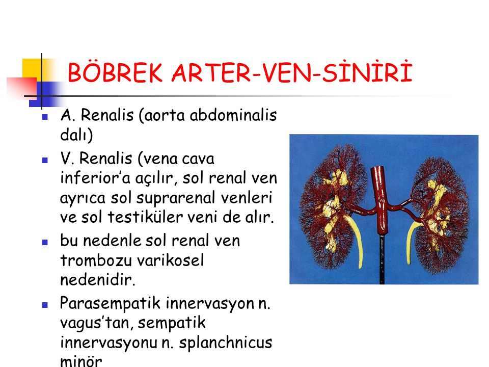 BÖBREK ARTER-VEN-SİNİRİ