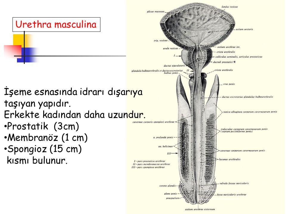 Urethra masculina İşeme esnasında idrarı dışarıya. taşıyan yapıdır. Erkekte kadından daha uzundur.