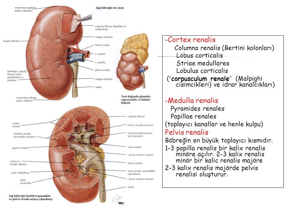 Pelvis renalis -Cortex renalis Columna renalis (Bertini kolonları)