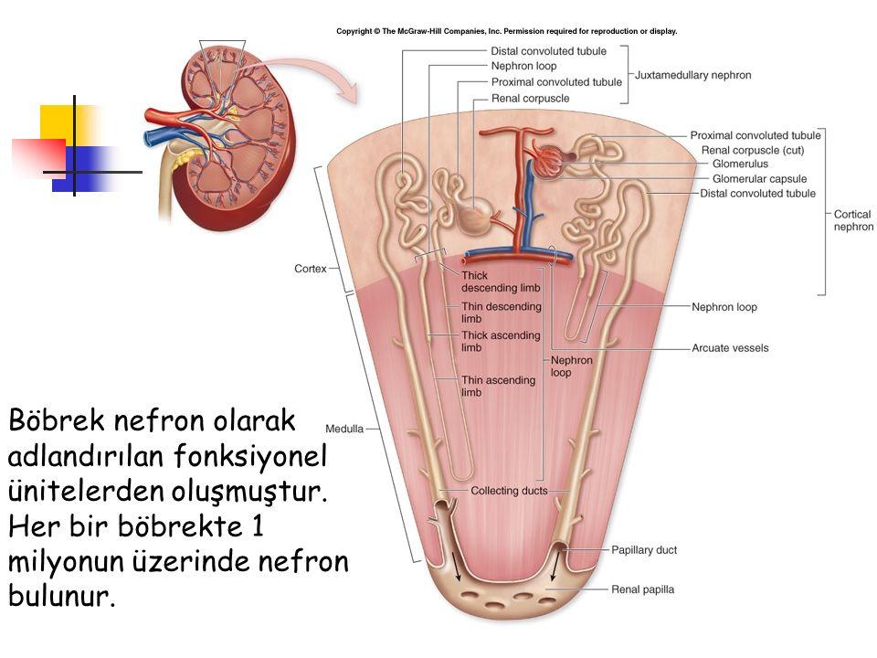 Böbrek nefron olarak adlandırılan fonksiyonel ünitelerden oluşmuştur.