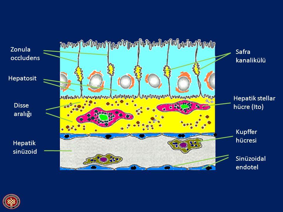 Zonula occludens. Safra. kanalikülü. Hepatosit. Hepatik stellar hücre (Ito) Disse. aralığı. Kupffer.