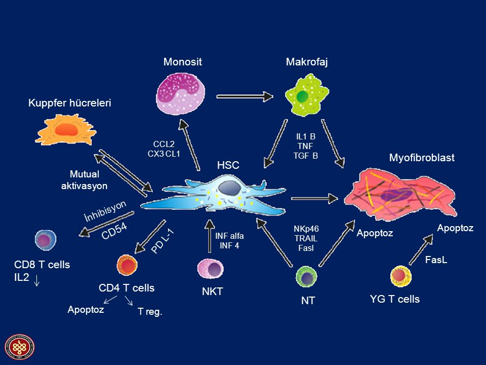 Monosit Makrofaj Kuppfer hücreleri Myofibroblast HSC CD54 CD8 T cells
