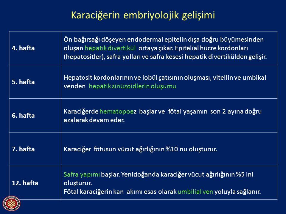 Karaciğerin embriyolojik gelişimi