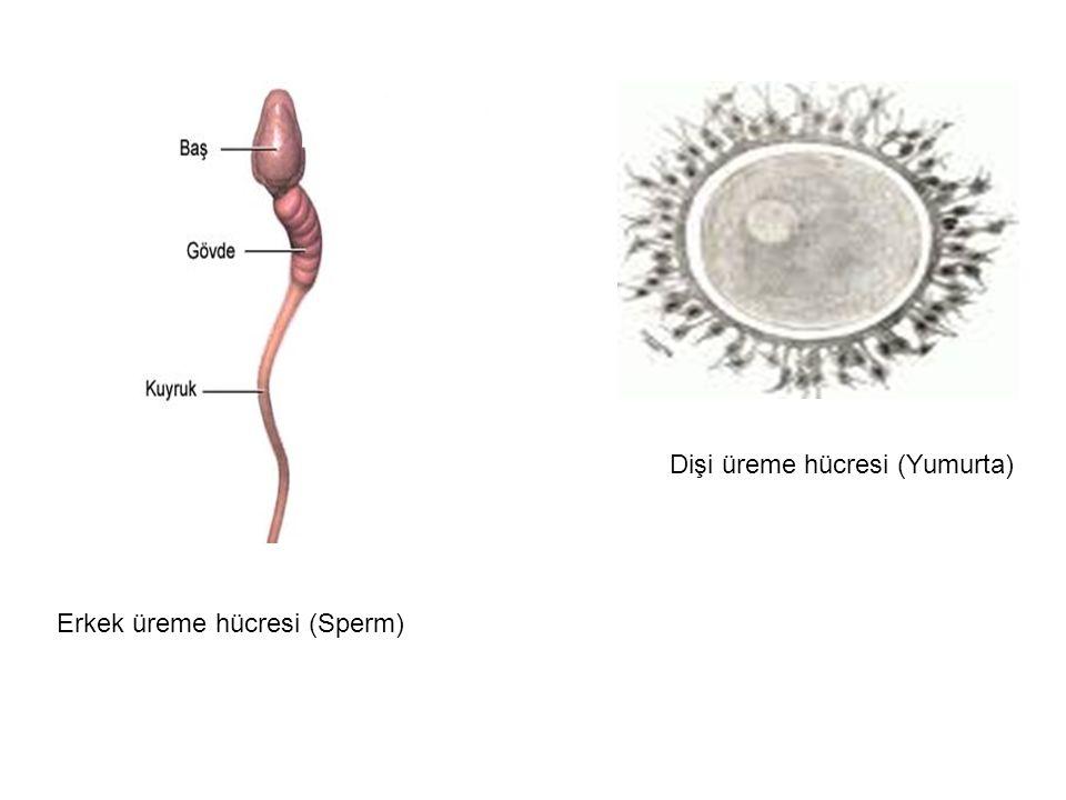 Dişi üreme hücresi (Yumurta)