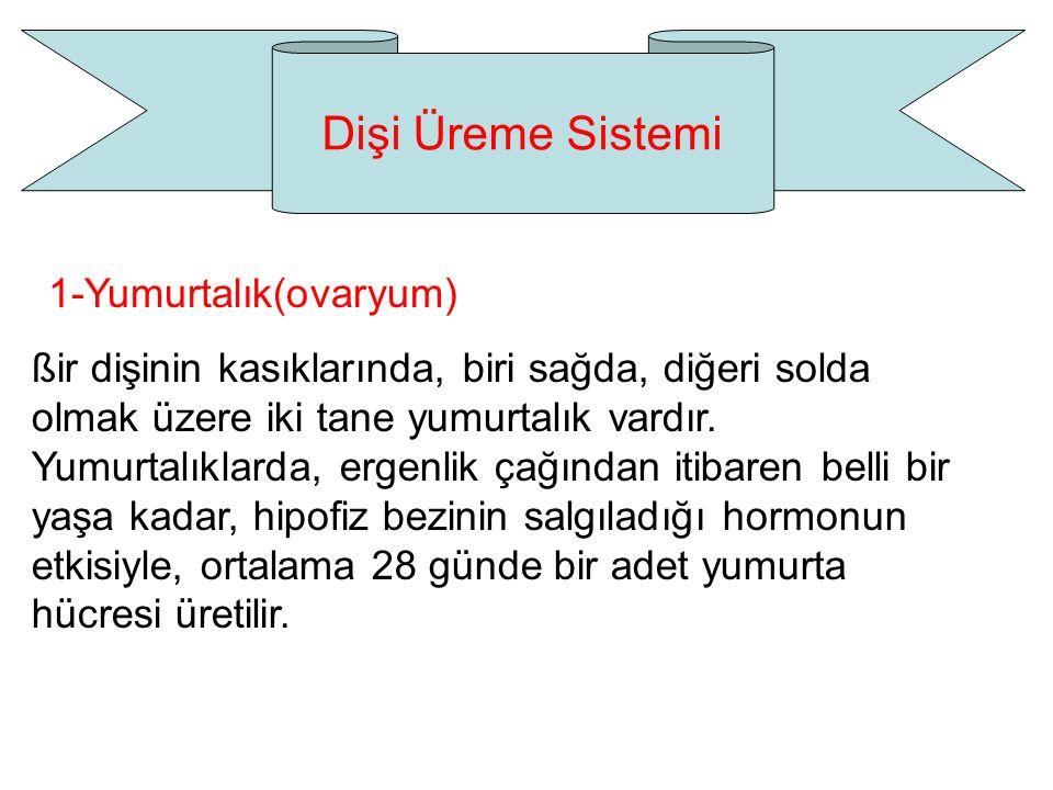 Dişi Üreme Sistemi 1-Yumurtalık(ovaryum)